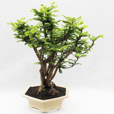 Indoor bonsai -Phyllanthus Niruri- Smuteň - 2