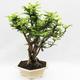 Indoor bonsai -Phyllanthus Niruri- Smuteň - 2/5