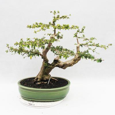 Indoor bonsai - Cudrania equisetifolia - 2