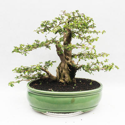 Indoor bonsai - Cudrania equisetifolia - 2