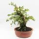 Indoor bonsai - Cudrania equisetifolia - 2/5