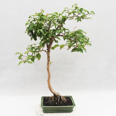 Indoor Bonsai - Australian Cherry - Eugenia uniflora - 2