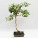 Indoor Bonsai - Australian Cherry - Eugenia uniflora - 2/4