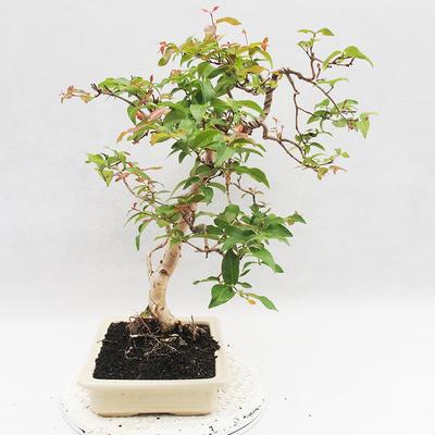 Room Bonsai - Australian Cherry - Eugenia uniflora - 2