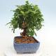 Indoor bonsai -Eleagnus - Hlošina - 2/6