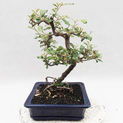 Indoor bonsai -Eleagnus - Hlošina - 2