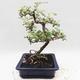 Indoor bonsai -Eleagnus - Hlošina - 2/5