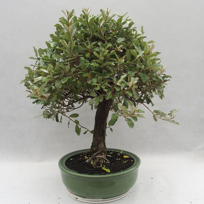 Indoor bonsai -Eleagnus - Hlošina - 2
