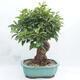 Outdoor bonsai -Malus Halliana - fruited apple - 2/6