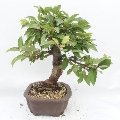 Outdoor bonsai -Malus Halliana - fruited apple - 2