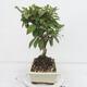Outdoor bonsai -Malus Halliana - fruited apple - 2/5