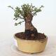Outdoor bonsai - Ulmus parvifolia SAIGEN - Small-leaved elm - 2/6