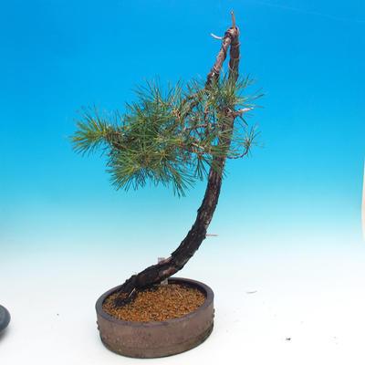 Outdoor bonsai - Pinus Sylvestris - Forest Pine - 2
