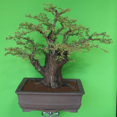 Indoor bonsai - Akacia Arabica - 2