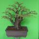 Indoor bonsai - Akacia Arabica - 2/7