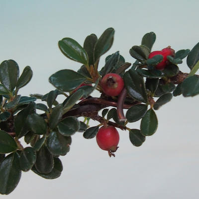 Outdoor bonsai-Cotoneaster horizontalis-Rock Garden - 2