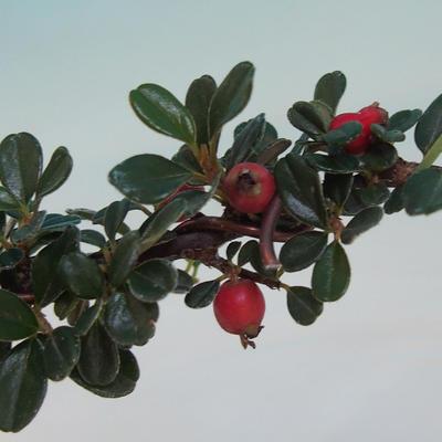 Outdoor bonsai-Cotoneaster horizontalis-Cotoneaster VB2020-463 - 2