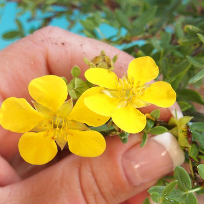 Outdoor bonsai-Bush Cinquefoil - Dasiphora fruticosa yellow 408-VB2019-26777 - 2