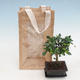 Room bonsai in a gift bag - JUTA - 2/2
