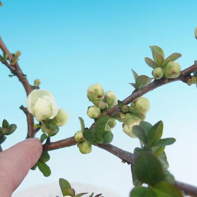 Outdoor bonsai - Chaenomeles superba jet trail - White quince - 2