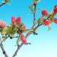 Outdoor bonsai - Chaneomeles japonica - Japanese Quince - 2/4