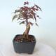 Outdoor bonsai - Maple palmatum DESHOJO - Maple palmate - 2/6