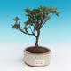 Outdoor bonsai - Rhododendron sp. - Azalea pink - 2/3
