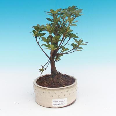 Outdoor bonsai - Rhododendron sp. - Azalea pink - 2