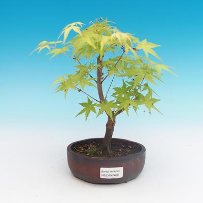 Outdoor bonsai-Acer palmatum Sango Koku- Japanese maple - 2