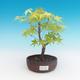 Outdoor bonsai-Acer palmatum Sango Koku- Japanese maple - 2/2