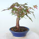 Outdoor bonsai - Maple palmatum sangokaku - Maple palm leaf - 2/5