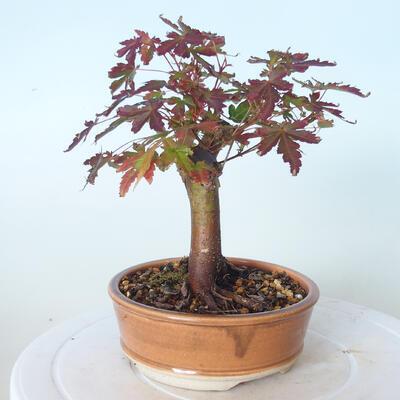 Outdoor bonsai - Maple palmatum sangokaku - Maple palm leaf - 2