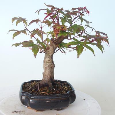 Outdoor bonsai - Maple palmatum DESHOJO - Maple palmate - 2