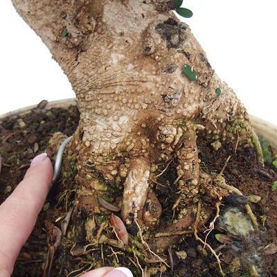 Indoor bonsai - Olea europaea sylvestris - European small-leaved olive oil - 2