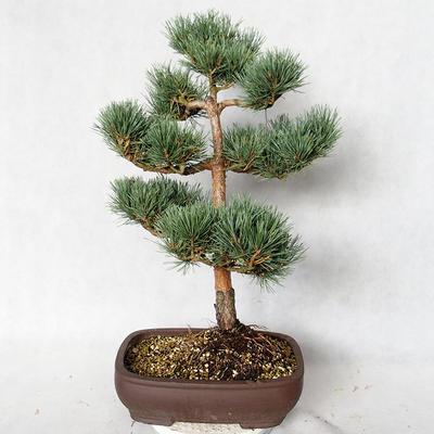 Outdoor bonsai - Pinus sylvestris Watereri - Scots pine VB2019-26848 - 2