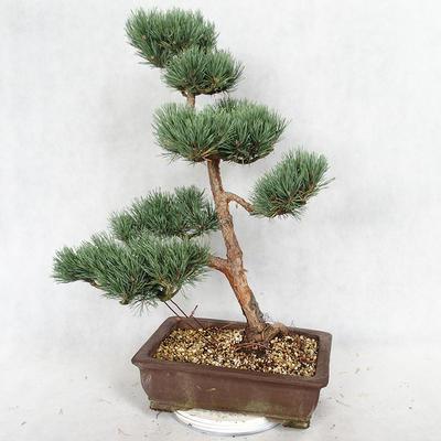 Outdoor bonsai - Pinus sylvestris Watereri - Scots pine VB2019-26852 - 2