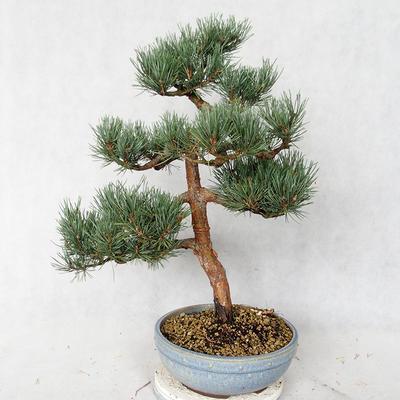 Outdoor bonsai - Pinus sylvestris Watereri - Scots pine VB2019-26859 - 2