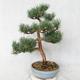 Outdoor bonsai - Pinus sylvestris Watereri - Scots pine VB2019-26859 - 2/4