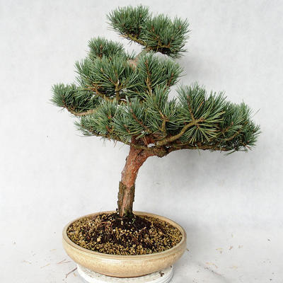 Outdoor bonsai - Pinus sylvestris Watereri - Scots pine VB2019-26868 - 2