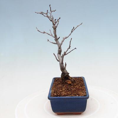 Outdoor bonsai - Pinus sylvestris Watereri - Scots pine VB2019-26870 - 2