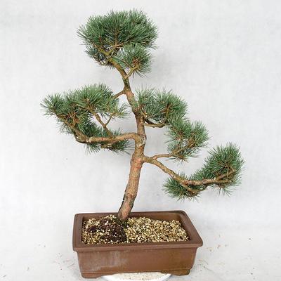 Outdoor bonsai - Pinus sylvestris Watereri - Scots pine VB2019-26878 - 2