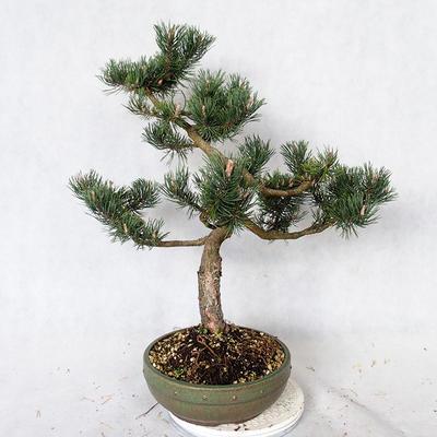 Outdoor bonsai - Pinus Mugo - Pine kneel VB2019-26886 - 2