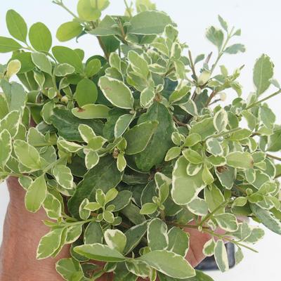 Room bonsai -Ligustrum chinensis - privet - 2