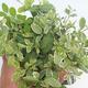 Room bonsai -Ligustrum chinensis - privet - 2/4