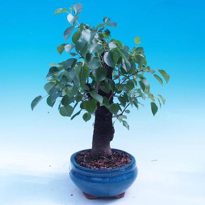 Outdoor bonsai - Prunus mahaleb - 2