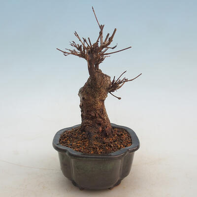 Outdoor bonsai - Buergerianum Maple - Burger Maple - 2