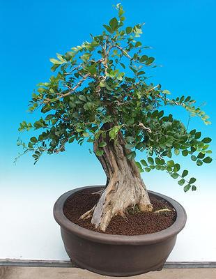 Room bonsai - Muraya paniculata - 2