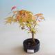 Outdoor bonsai - Acer palmatum Orange - 2/2