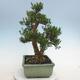 Indoor bonsai - Buxus harlandii - Cork boxwood - 2/6