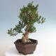 Indoor bonsai - Buxus harlandii - Cork boxwood - 2/5